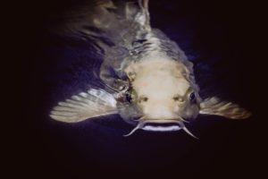 8 catfish-1853610_1920