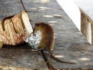 rat-1979242_960_720